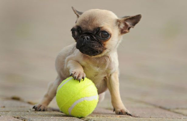 The World S Smallest Dog Meet Gracie The Pint Sized Pug Cute