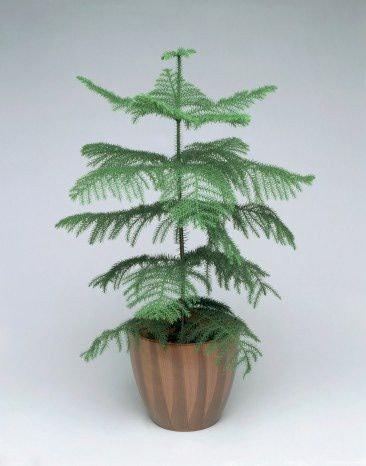 What to do now with your Norfolk Island Pine Christmas tree? | Norfolk