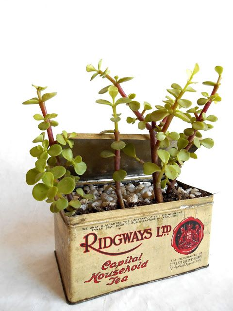 succulent in vintage tea tin labellumflowers.com