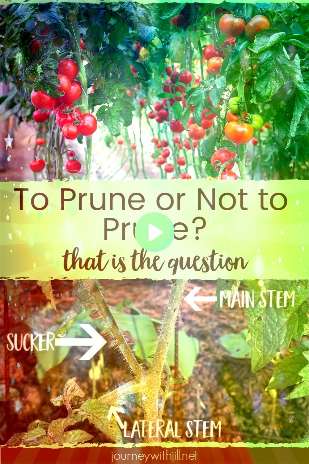 tomatoes in your garden You want to harvest the most yield possible from your crop  so does that mean you have to start pruning your tomatoes Whether you grow in the grou...