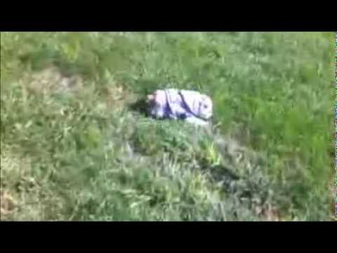 Sophie The English Bulldog Really Enjoys Rolling Down A Grassy