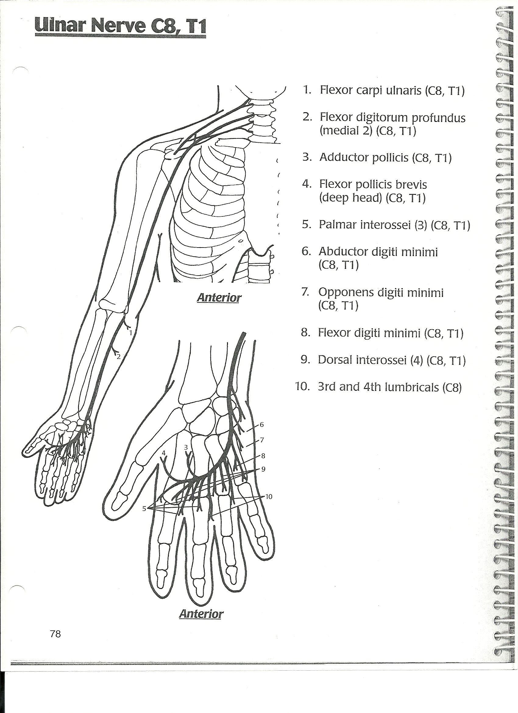ulnar nerve | NBCOT | Pinterest | Nerven, Anatomie und Krank