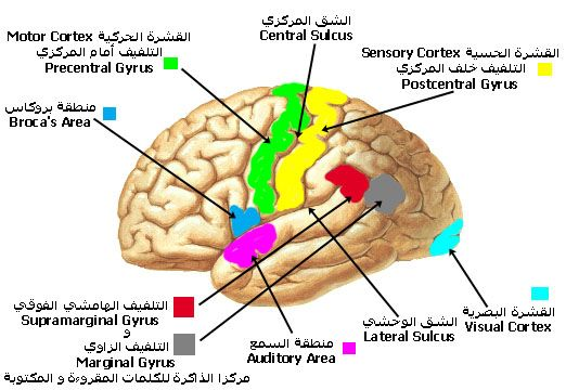 الـــجـــهـــاز الـــعـــصـــبـــي Nervous System شرح بالصور اكاديمية علم النفس Motor Cortex Broca S Area Sensory