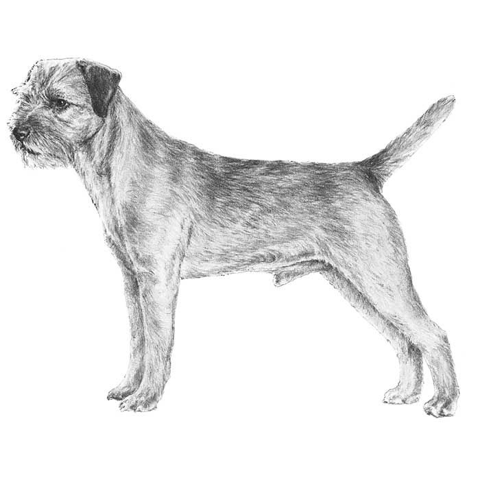Border Terrier Dog Breed Information Border Terrier Terrier Dog