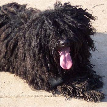 puli dog for sale