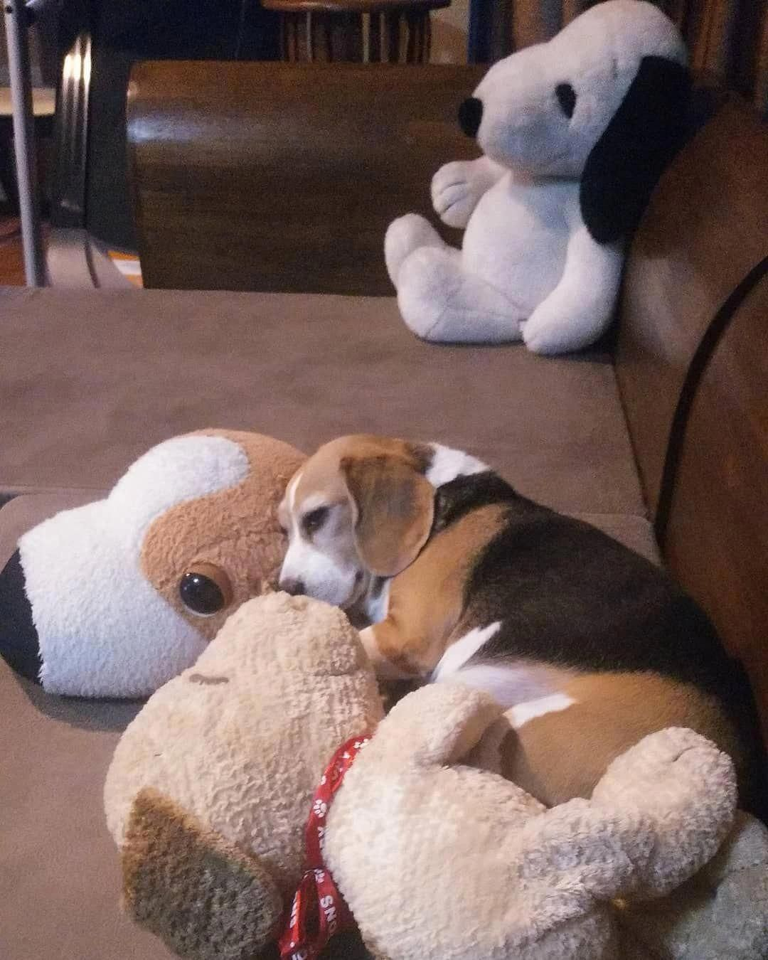 Pin By Kris Verrier On Beagles In 2020 Beagle Puppy Cute Dogs