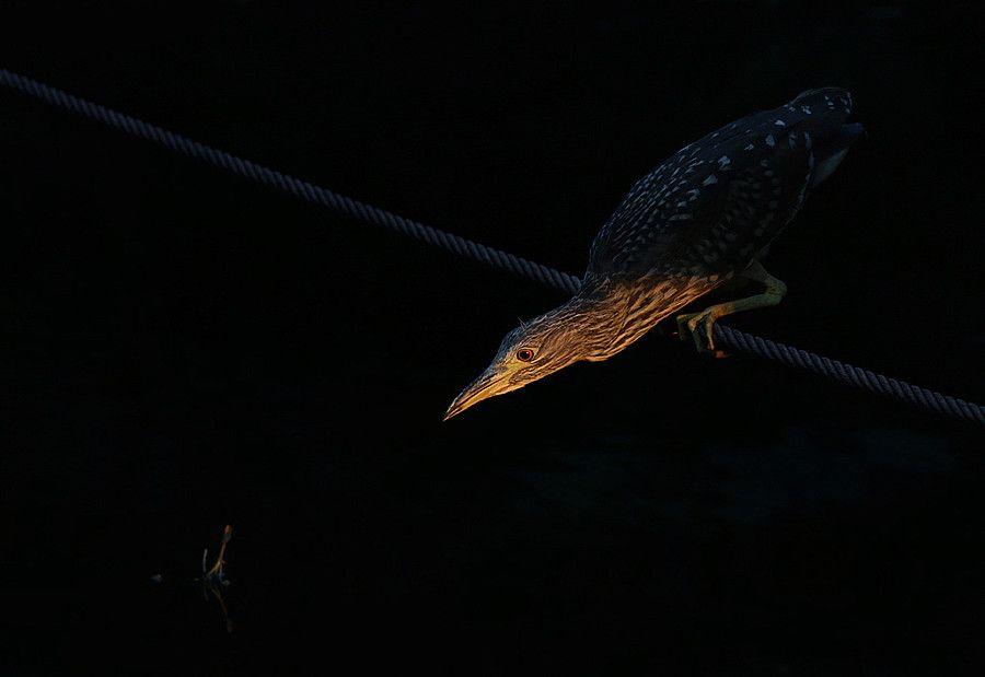 Night Heronfotograaf Thijsg Dit Zeldzame Reigertje In Het