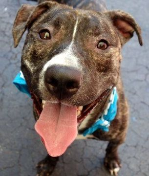 Manhattan Center BERTIE – A1044563 MALE, BR BRINDLE, AM PIT BULL TER MIX, 1 yr OWNER SUR – EVALUATE, NO HOLD Reason NYCHA BAN Intake condition EXAM REQ Intake Date 07/18/2015 http://nycdogs.urgentpodr.org/bertie-a1044563/