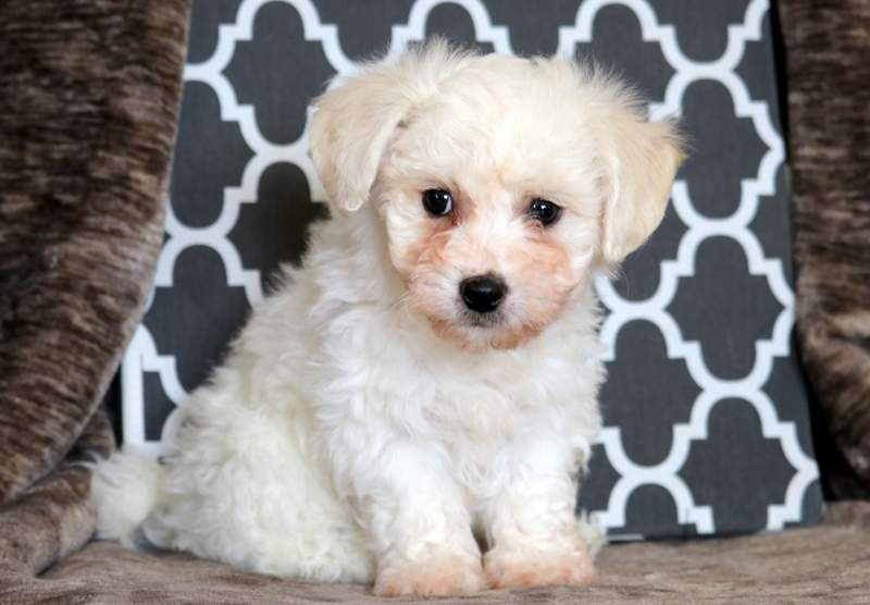 Bichon Frise Puppy For Sale In Mount Joy Pa Adn 71294 On