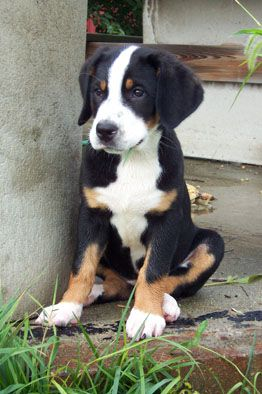 Greater Swiss Mountain Dog I Want I Want It I Want It Entlebucher Mountain Dog Dogs Dog Breeds