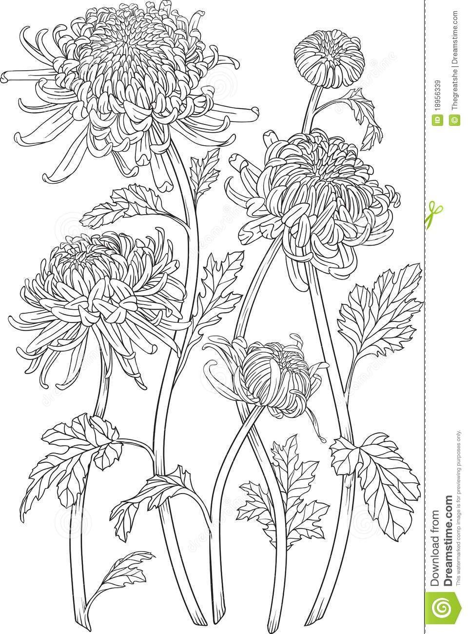 chrysanthemum flower drawing - Google Search | flowers ...