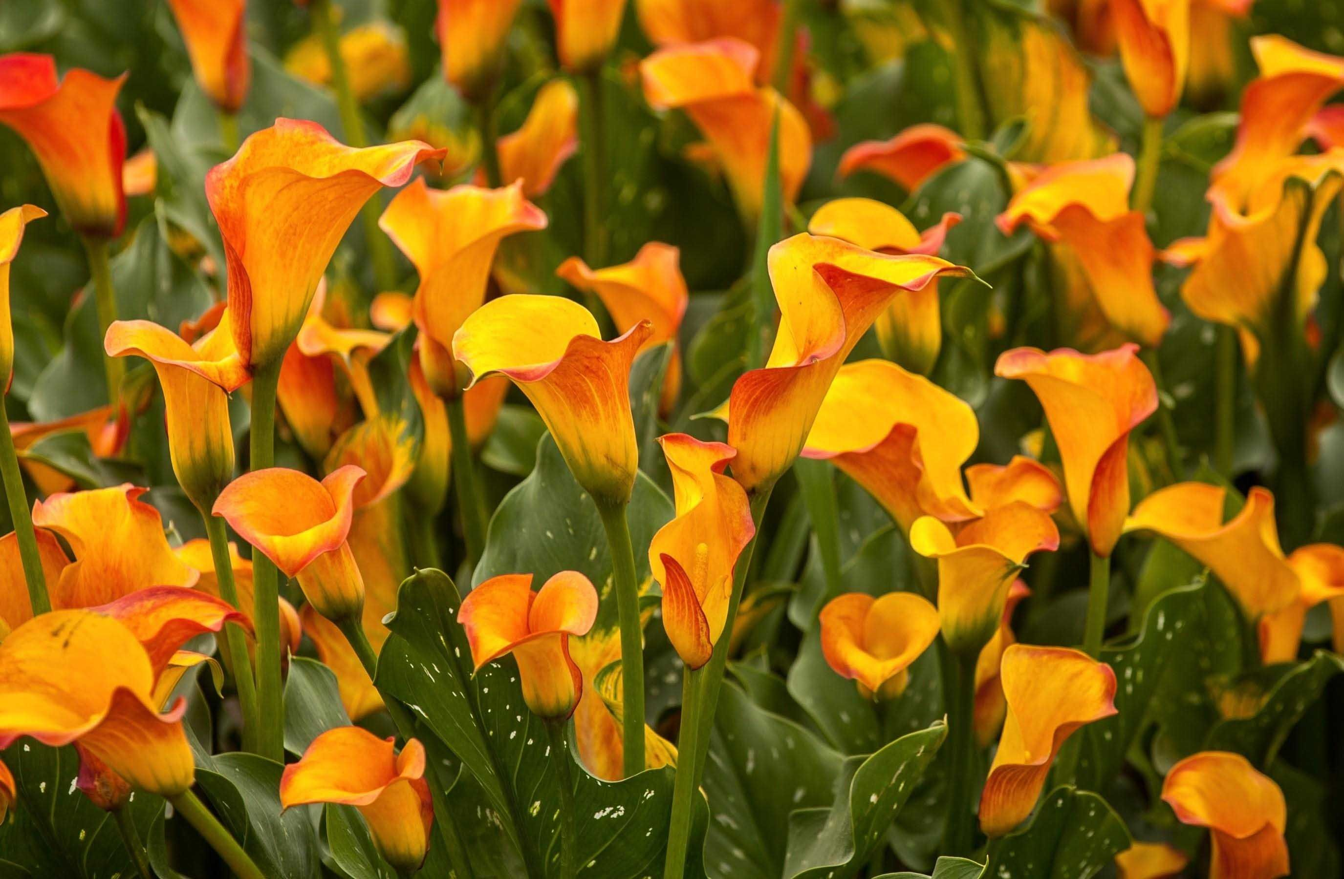 Calla Flower Wallpapers HD CALLAS LILY Pinterest Flower