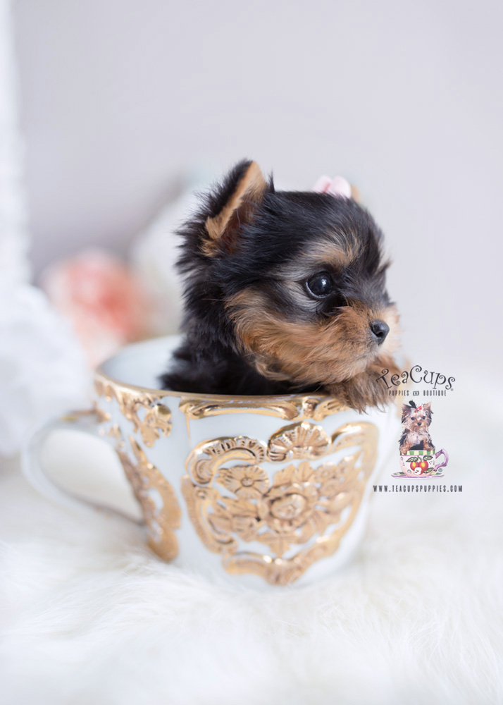 Precious Teacup Yorkie Puppies For Sale Teacups Puppies Boutique In 2020 Teacup Puppies Yorkie Puppy For Sale Teacup Yorkie Puppy