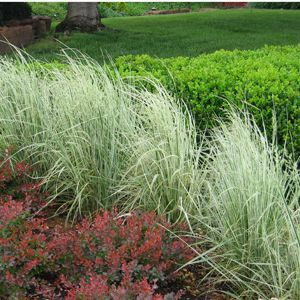 Barberry Grass Boxwood Grasses Landscaping Feather Reed Grass