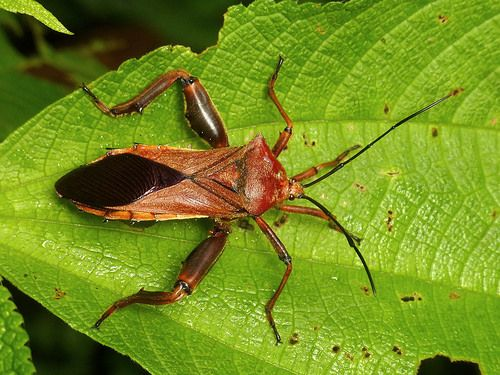 Leaf Footed Bug Coreidae