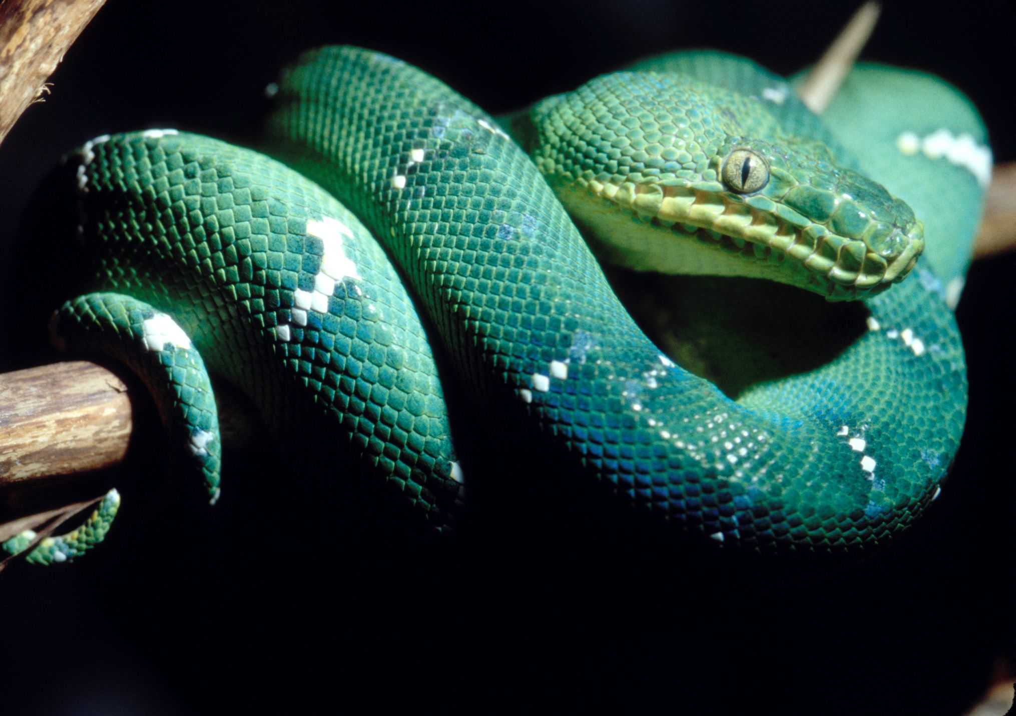 Emerald tree boa snake at the Oregon Zoo - happens to be Pantone\'s ...