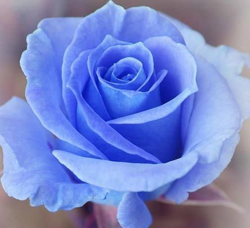 blue rose st therese the little flower pinterest blue roses