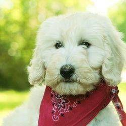 Goldendoodle Puppy For Sale In Troutman Nc Adn 31923 On Puppyfinder Com Gender Female Age Goldendoodle Puppy Puppies For Sale Goldendoodle Puppy For Sale