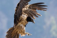 Credit: Juanvi Carrasco/Alamy Lammergeier (Gypaetus barbatus) The lammergeier, also known as a bearded vulture, is a bird of prey and one of the largest of the old world vultures. This bird wins the prize for shot put because it drops large bones from great heights in order to shatter them and eat the nutritious marrow inside. This species can be found in ranges from southern Europe through the Middle East to northeastern China, and also occurs in parts of north, east and southern Africa