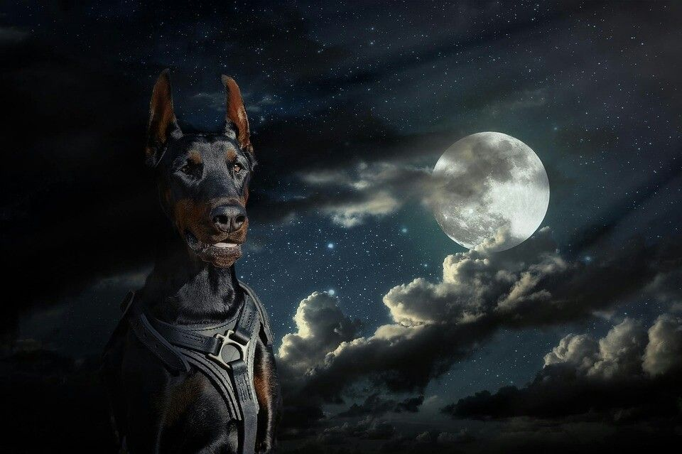 Pin By Justin On Love My Dobermans Doberman Outside Dogs Your Dog