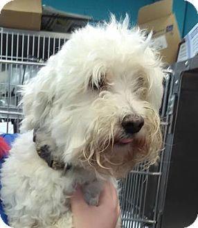 Lakeland Fl Bichon Frise Meet Kendal A Dog For Adoption Http