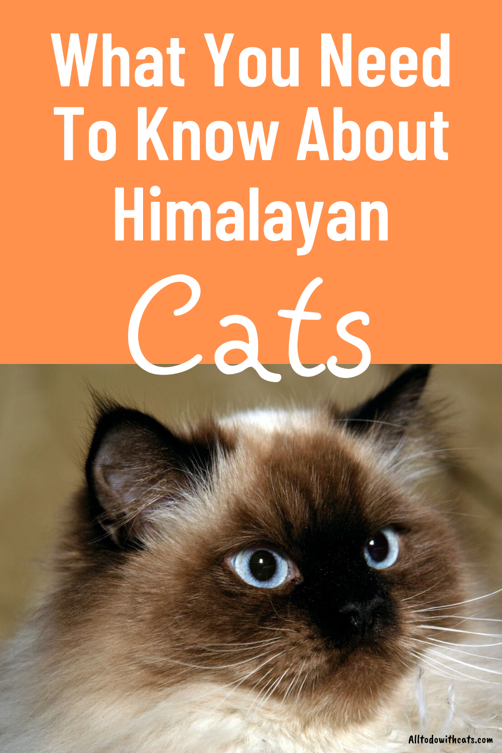 All About Himalayan Cats (The Much Loved Hybrid Breed!) in