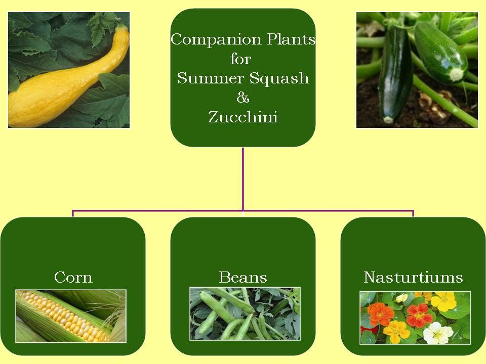 Get Your Hands Dirty panion Plants for Summer Squash & Zucchini