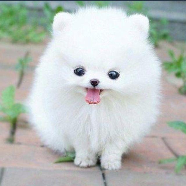 Boo Pomeranian Cute Fluffy Dogs Cute Animal Photos Fluffy Dogs