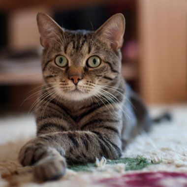 feline cardiomyopathy cm describes a type of heart disease
