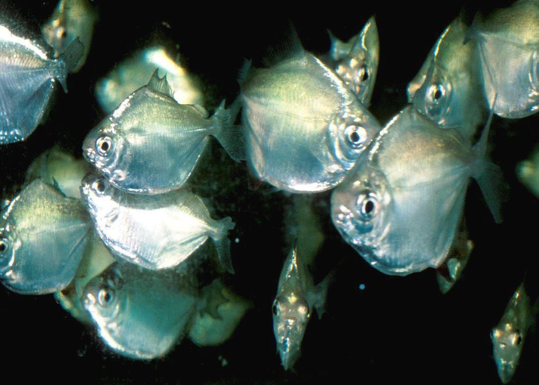Silver Dollars Pet Fish Tropical Freshwater Fish Saltwater Aquarium Fish