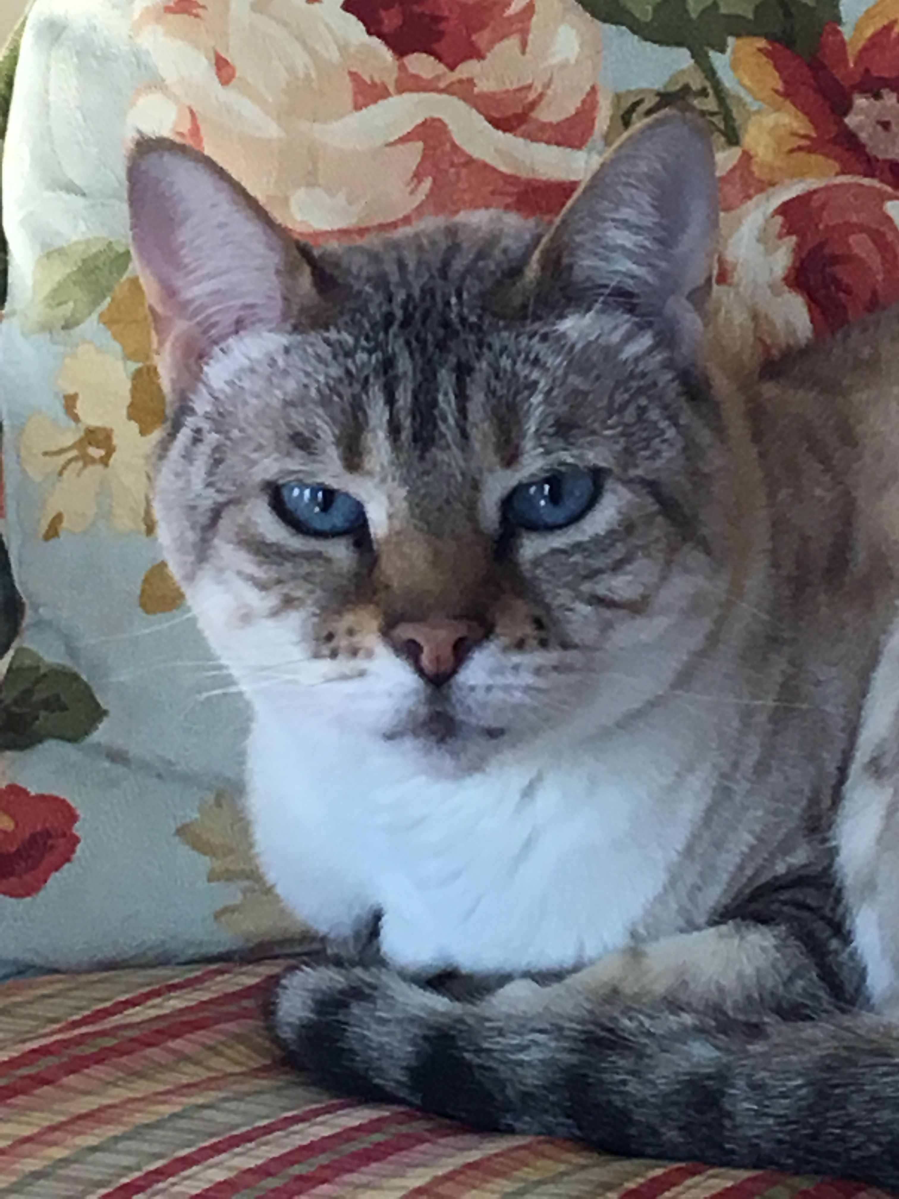 AmikaBengal. Beautiful cats, Tabby cat, Cats and kittens