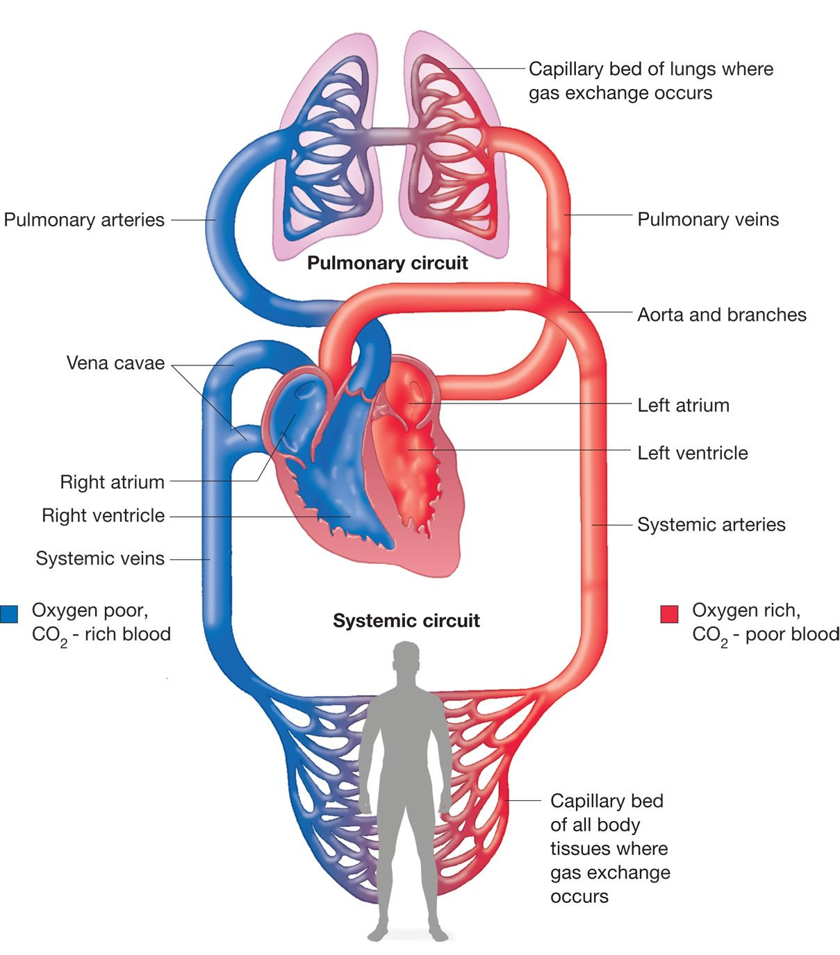 systemic and pulmonary circuits | medical | circulatory system