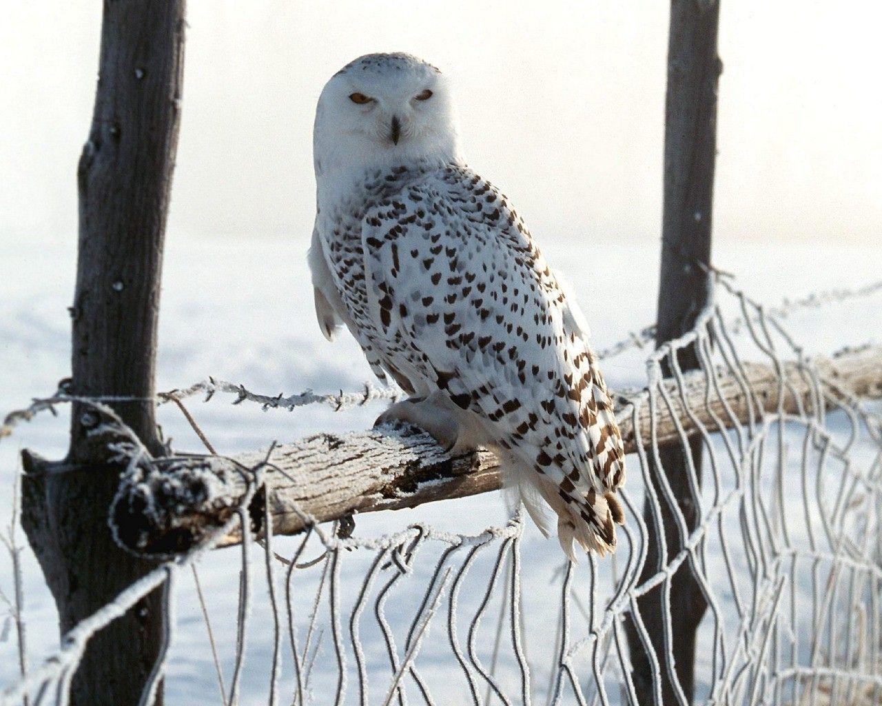 Chouette Blanche Dans La Neige Oiseau Hibou Animaux Et Oiseaux Animaux Sauvages
