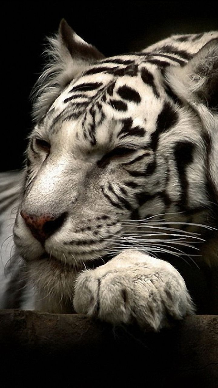 White Tiger Wallpaper For Iphone Click Wallpapers Tiger Wallpaper Tiger Funny Animal Videos