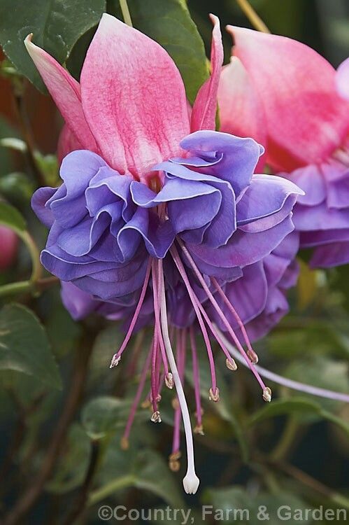Fuchsia Cecile Fuchsia Flowers Fuchsia Flower Beautiful Flowers