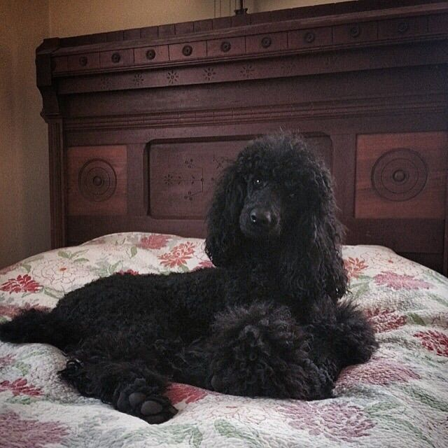 Abby What S Up Mom Poodle I Love Dogs Dog Mom