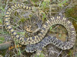a picture and name of wisconsin snakes google search bull snake