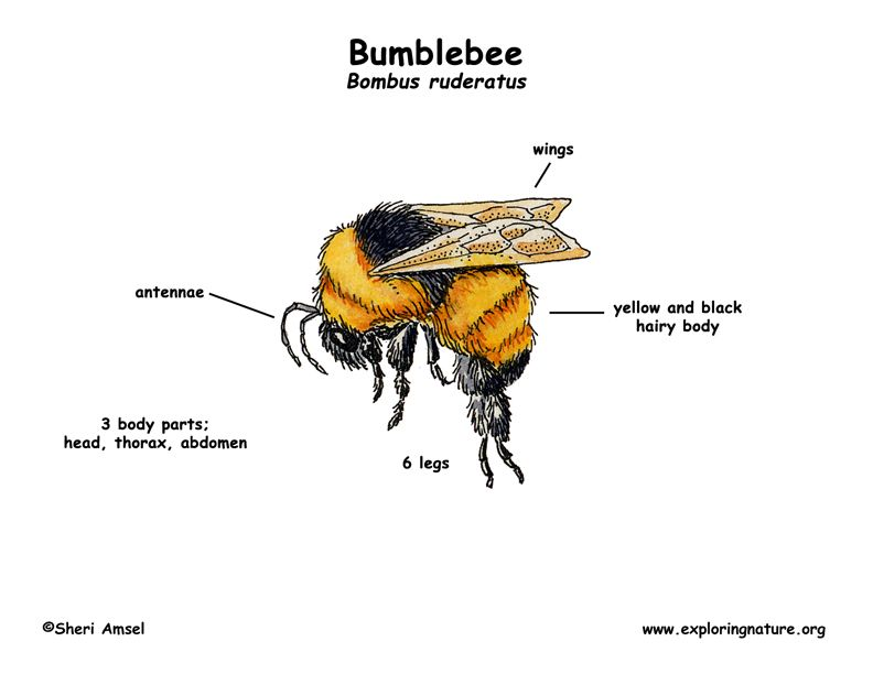bumble bee diagram understanding hvac wiring diagrams bumblebee learn about animals and food webs environmental education our environment science projects