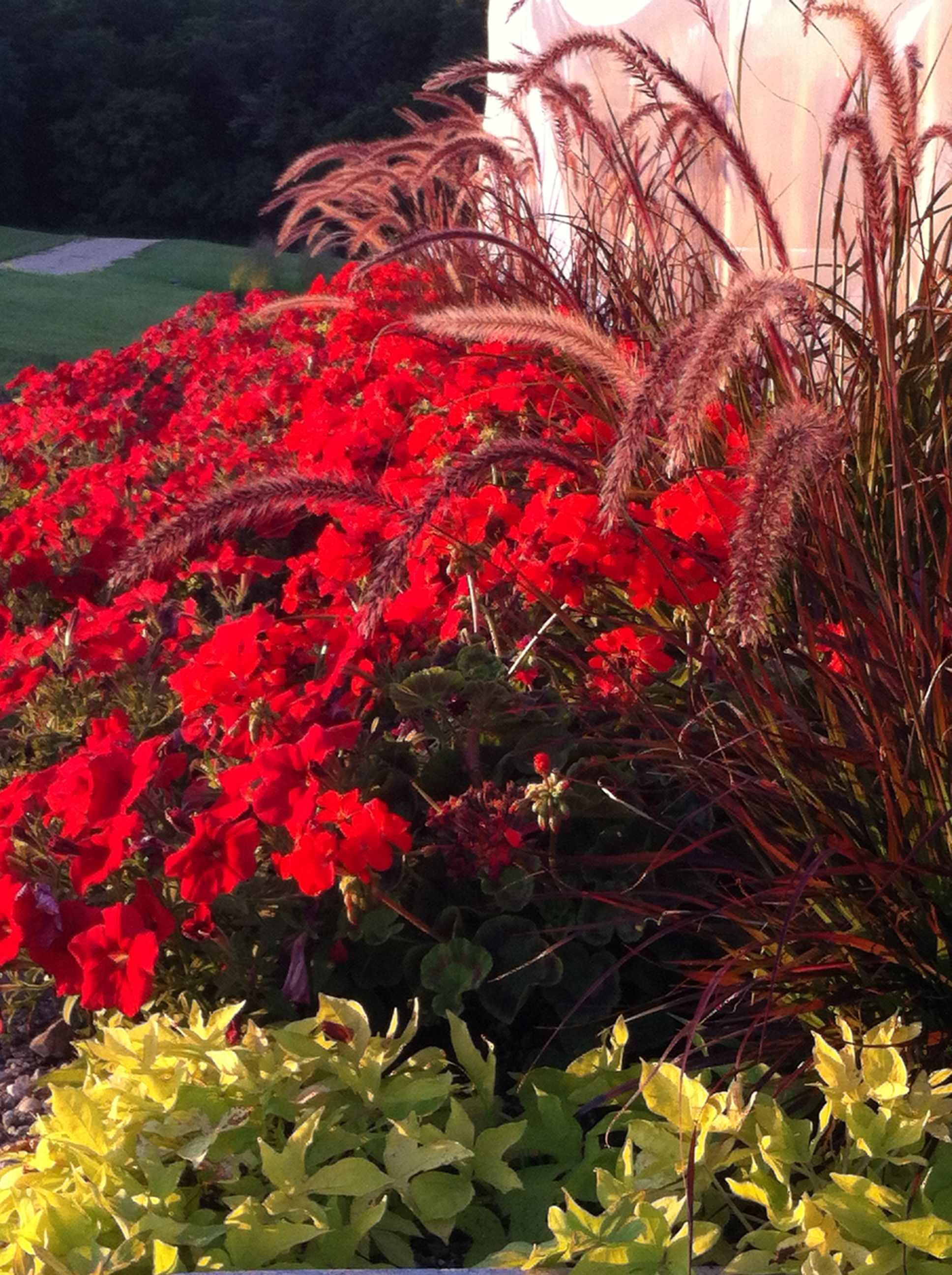 Purple fountain grass, red geranium, red petunia