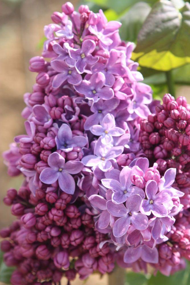 Syringa Vulgaris Ruhm Von Horsenstein Lilac Plant In 9cm Pot Syringa Vulgaris Syringa Lilac Plant