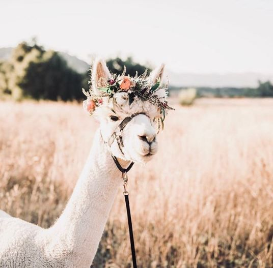 Llama Love - Pictures, Clothes, Decor, Paper And