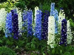 Znalezione Obrazy Dla Zapytania Niebieskie Kwiaty Ogrodowe Delphinium Beautiful Flowers Plants