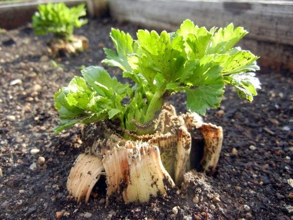 Growing Celery my-urban-garden