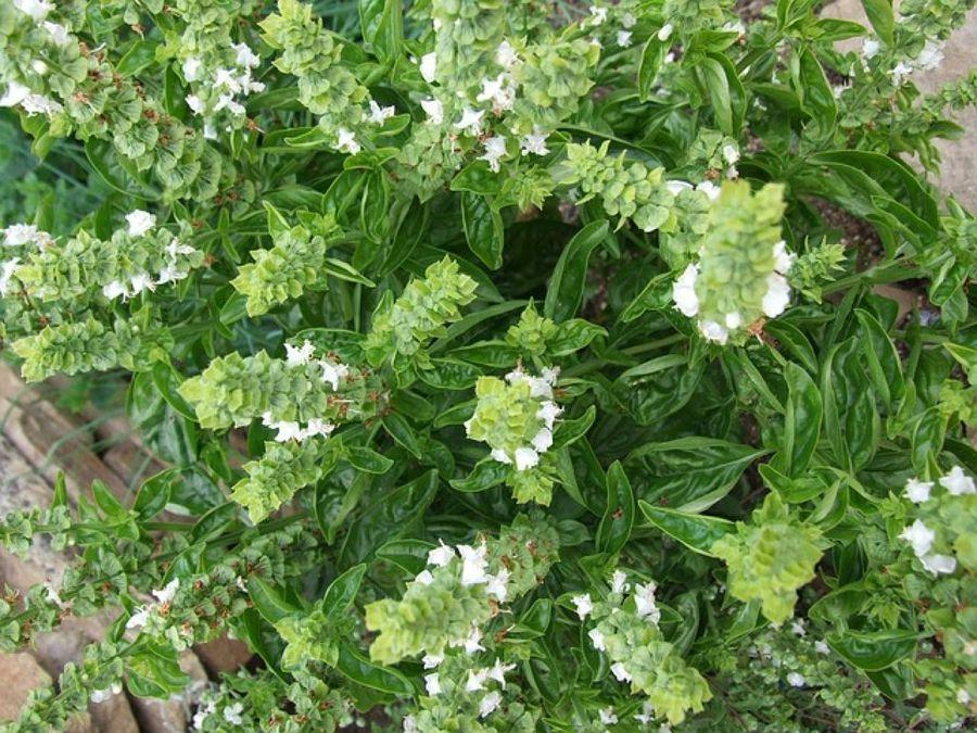 albahaca: planta frondosa, propiedades y salsa | albahaca, plantas