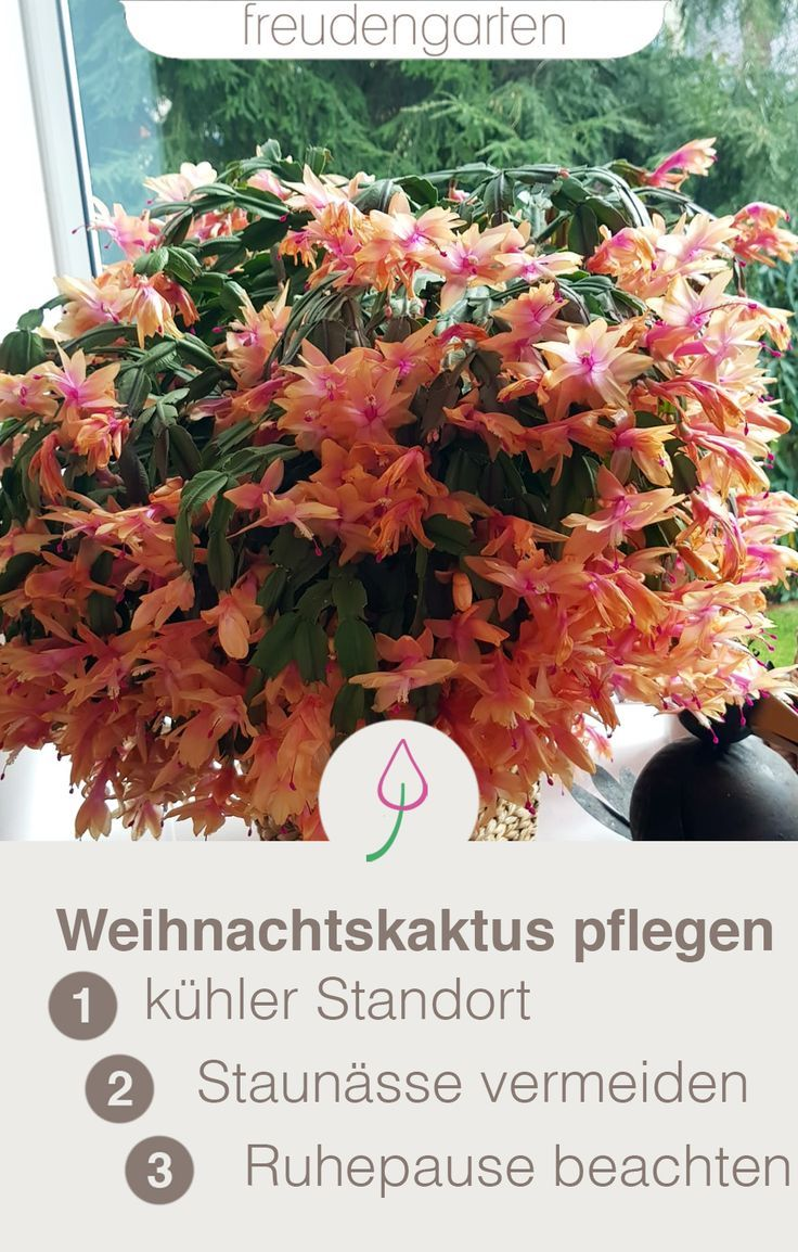 Weihnachtskaktus Pflegen Kakten Pinterest Plants Planting