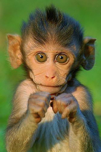 Boxing Baby Monkey Furry Cute Baby Animals Cute Animals Baby