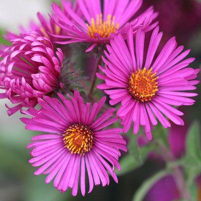 September Ruby Aster Aster Flower Autumn Flowering Plants Plants