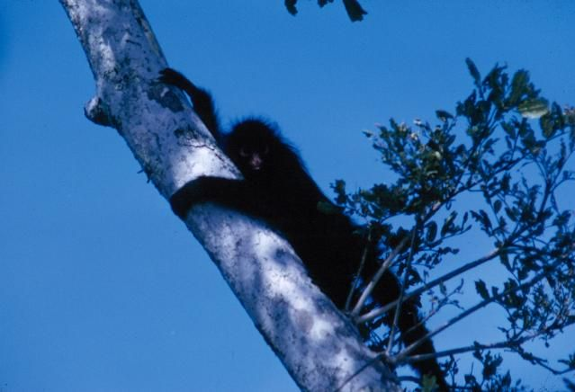 Black spider monkey hanging from tree. 1965. W. & G. Garst Photographic Collection, University Archive, Archives and Special Collections, CSU, Fort Collins, CO