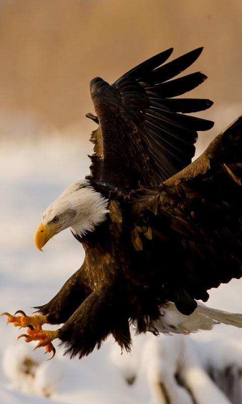Eagle Pesquisa Google Wallpaper Desktop Cool eagle wallpaper 3d