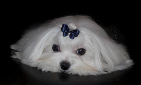 Cute Little Maltese I Miss My Sandy Maltese Maltese Puppies